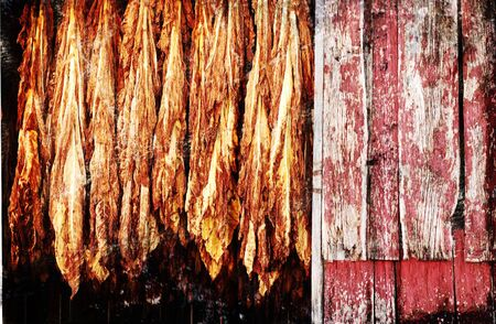 rafters: A grunge illustration of tobacco hanging from barn rafters to dry.