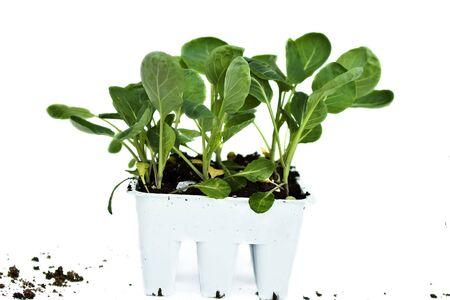 Broccoli plants photo