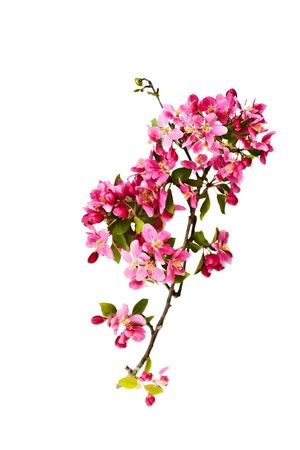 crab apple tree: Crab Apple tree blossom on a white background.