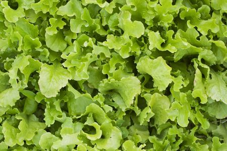 loose leaf: Una cama de lechuga de hoja suelta
