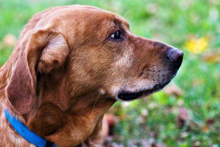 Portrait of a Labrador RetrieverGolden Retriever mix resting outdoors.