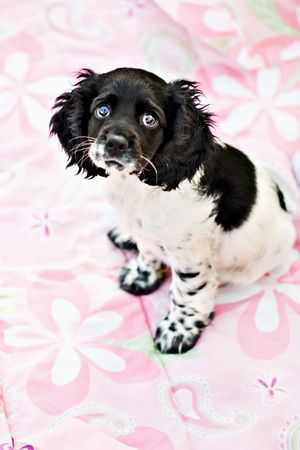 A nine week old parti colored purebred Cocker Spaniel puppy sits on top of a little girls bed with a very sad expression. Shallow DOF with focus on eyes.  photo