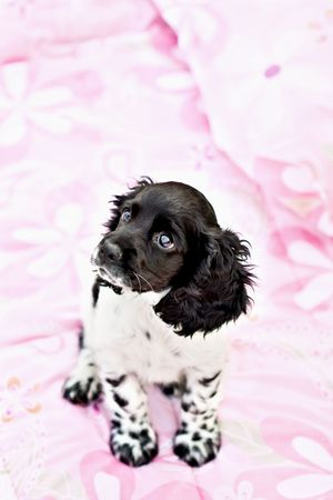 A nine week old parti colored purebred Cocker Spaniel puppy sitting on top of a little girls bed. photo