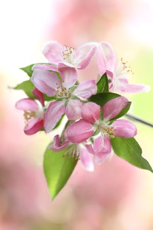 Crabapple tree blossoms with extreme shallow DOF. photo
