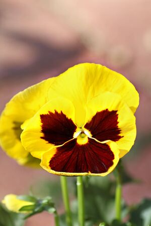 Close up of yellow pansy with extreme shallow DOF.