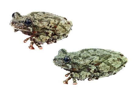 Two Cope's Gray Treefrogs isolated on a white background. Stock Photo - 6965670