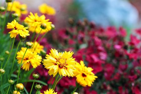 tickseed: Beautiful Coreopsis (Tickseed) against red dianthus. Selective focus on large coreopsis flower. Stock Photo