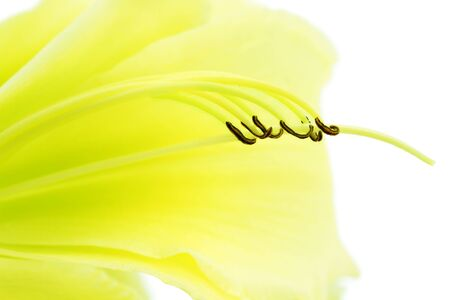 Graceful abstract of the interior of a yellow daylily flower isolated on white.