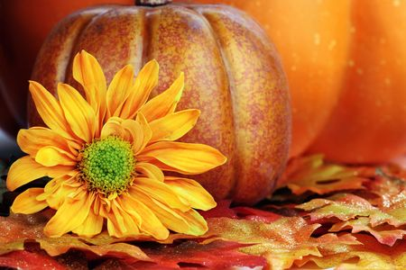 Still life of a fiery orange autumn flower and pumpkins. photo