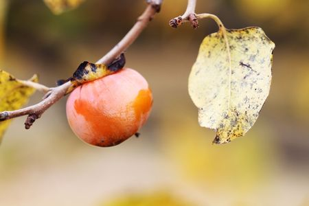 American Persimmon fruit in the fall. Extreme shallow DOF. photo