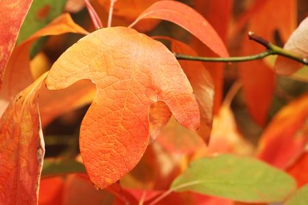 Glove shaped leaf of a Sassafras tree in Autumn. Selective focus with extreme shallow DOF.