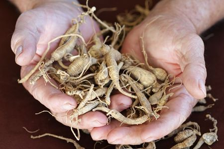 Elderly mans hands holding harvested ginseng from the Appalachian area of the United States. Extreme shallow DOF with selective focus on ginseng near finger tips.