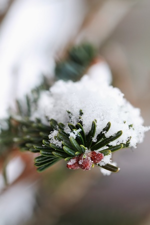 upclose: Macro of a pine tree branch with fresh fallen snow. Extreme shallow DOF. Stock Photo