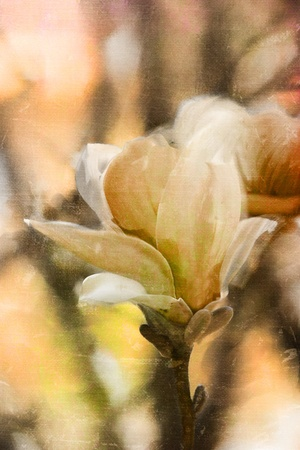Japanese Magnolia tree blossoms with extreme shallow DOF.  photo
