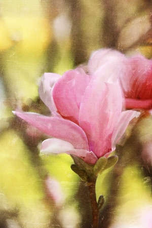 Japanese Magnolia tree blossom  photo