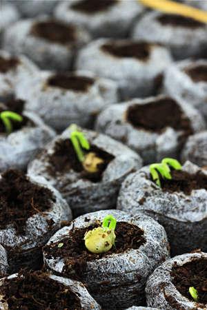 有機栽培豆と野菜の生分解性の泥炭の鍋で成長しています。極端な浅い被写し界深度。 写真素材