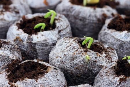 turba: Crecido org�nicamente plantas y hortalizas en macetas de turba biodegradables. Extrema DOF superficial. Foto de archivo
