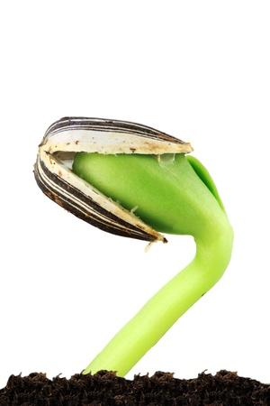 sementi: Girasole semenzale crescere fuori del suolo e scoppiando dal suo involucro di seme. Archivio Fotografico