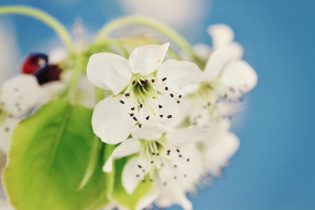 Bright spring blossoms of a Bradford Pear tree with extreme shallow DOF. Copy space available. Stock Photo - 9119581