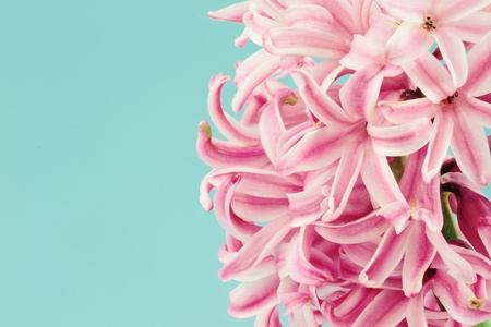 Beautiful pink hyacinth macro against a blue background with available copy space.  Stock Photo
