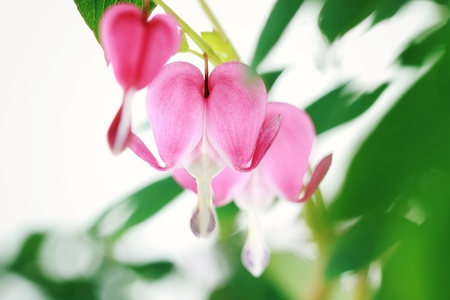Bleeding Heart. Extremely shallow depth of field with selective focus on center flower.  photo