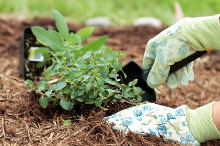 A gardeners gloved hand planting Chocolate Mint with a small trowel in a herb garden.