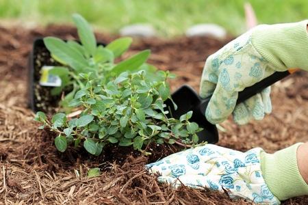 Een tuinman van gehandschoende hand chocolade Mint planten met een kleine troffel in een kruidentuin.