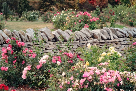 Various roses growing in a formal garden against a rock wall.