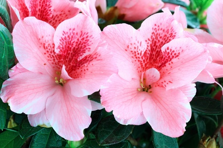 azalea: Macro of bright pink azalea blooms. Shallow depth of field.  Stock Photo