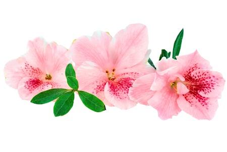 azaleas: Macro of bright pink azalea blooms