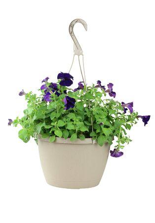 一个挂在白色背景上的紫色牵牛花篮子。