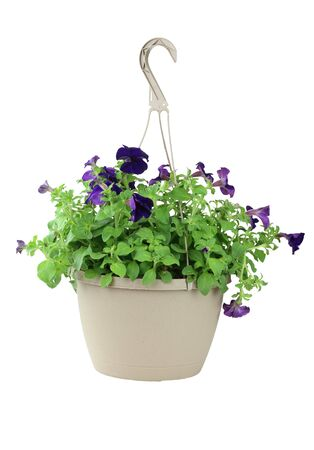 A hanging basket of purple Petunias isolated on a white background.   photo