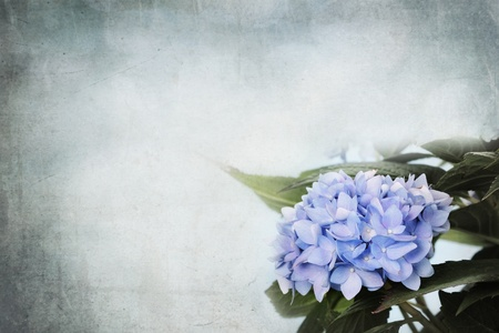 Background Hydrangea flowers and room for copy space.   photo
