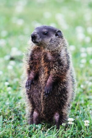 A young groundhog pup, also known as a Woodchuck, stands on his hind feet in a field of clover while he looks for danger.   Stock Photo