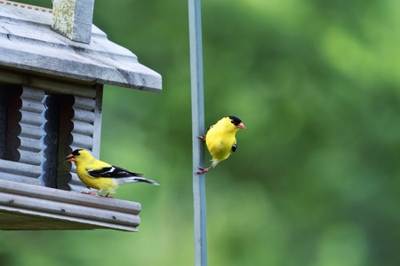 feeder: Two male American Goldfinch perched on a feeder.  Extreme shallow depth of field with room for copy space.