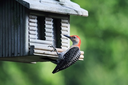 omnivores: Red-bellied Woodpecker feeding at a bird feeder. Extreme shallow depth of field.
