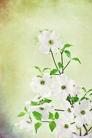 Textured image of a bouquet of white Dogwood blossoms. Stock Photo