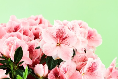 azaleas: Macro of bright pink azalea blooms against a green background. Shallow depth of field.  Stock Photo