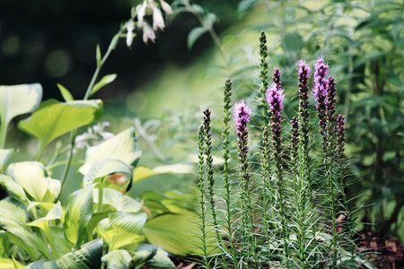 spiked: Beautiful garden in the morning light with Blazing Star (Liatris) flowers and hostas in the background.
