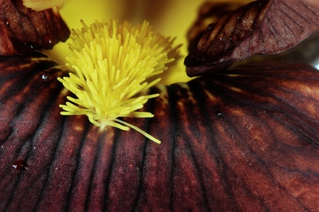 Extreme macro of a beautiful brown Bearded Iris flower.