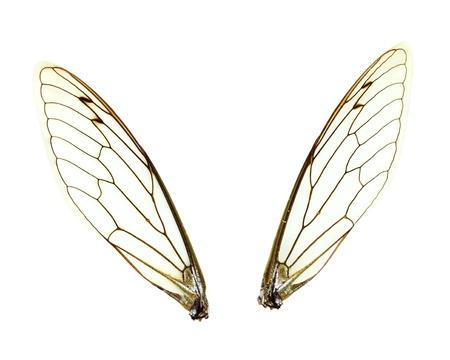 Twee aparte Cicada (Jar Fly) vleugels geà ¯ soleerd op een witte achtergrond met het knippen inbegrepen weg.