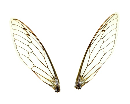 gossamer: Two seperate Cicada (Jar FLy) wings isolated over a white background with clipping path included.