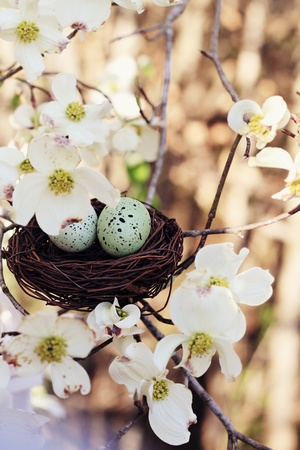 Beautiful image of two eggs in a small nest with dogwood blossoms surrounded it. Extreme shallow depth of field with some blur. Selective focus is on the eggs.  photo