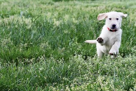 perro labrador: Golden Retriever de raza mixta diseñador de 7 semanas de edad cachorro, corriendo y jugando en un campo. Foto de archivo