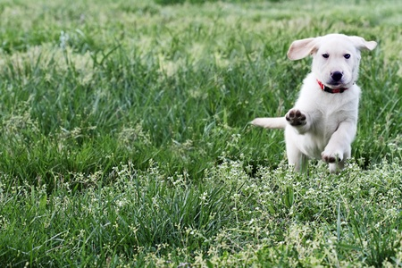Golden Retriever mixed designer breed 7 week old puppy,  running and playing in a field.