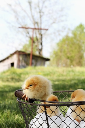 Little Buff Orpington chicks sitting on top of an egg basket with chicken coop in far background.