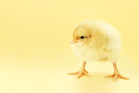 Little Buff Orpington chick against a yellow background with room for copy space.  Stock Photo