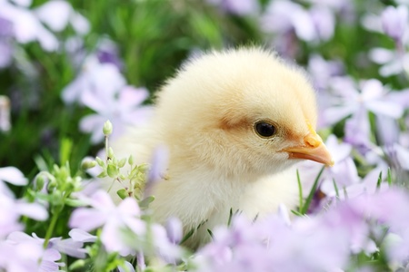 Little Buff Orpington chick in the middle of a bread of lavendar colored spring flowers. Extreme shallow depth of field with some blur on lower portion of image.