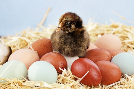Adorable little Araucana chick sitting on top of a variety of organic farm fresh eggs.  Araucanas are also known as the Easter Chicken for the blue or greenish colored eggs they lay.
