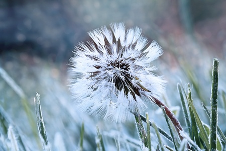 A dandelion seed head with a coating of frost in the morning.  photo